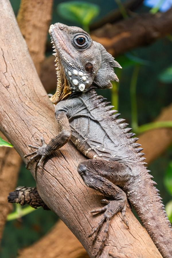 Boyd's Forest Dragon Lophosaurus boydii. A species of arboreal agamid lizard found in rainforests and their margins in the Wet Tropics region of stock images