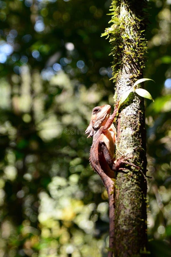 Boyd`s forest dragon. Mossman gorge. Daintree National Park. Queensland. Australia stock images