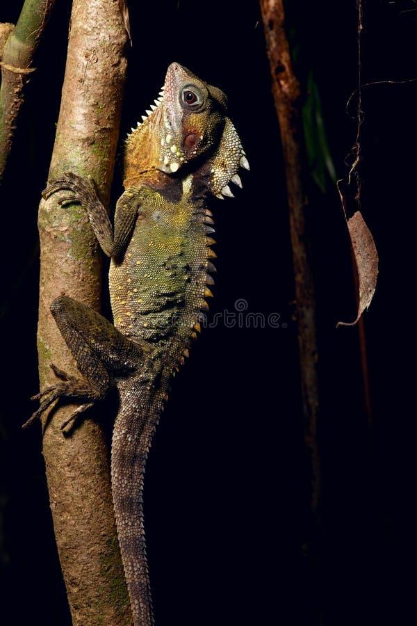 boyd smoka lasowy jaszczurki deszcz s tropikalny obrazy royalty free