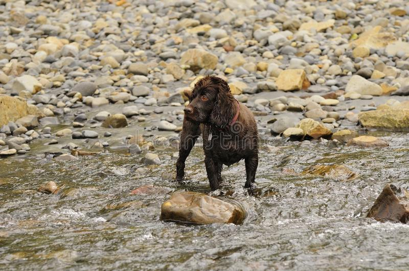 A Boykin Spaniel stands in a stream waiting for something top happen. A Boykin Spaniel waiting with intense anticipation royalty free stock photo
