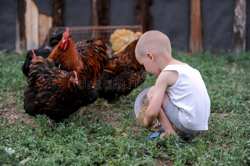 Boys feed chickens and farm animals on their father`s farm in the countryside royalty free stock photography