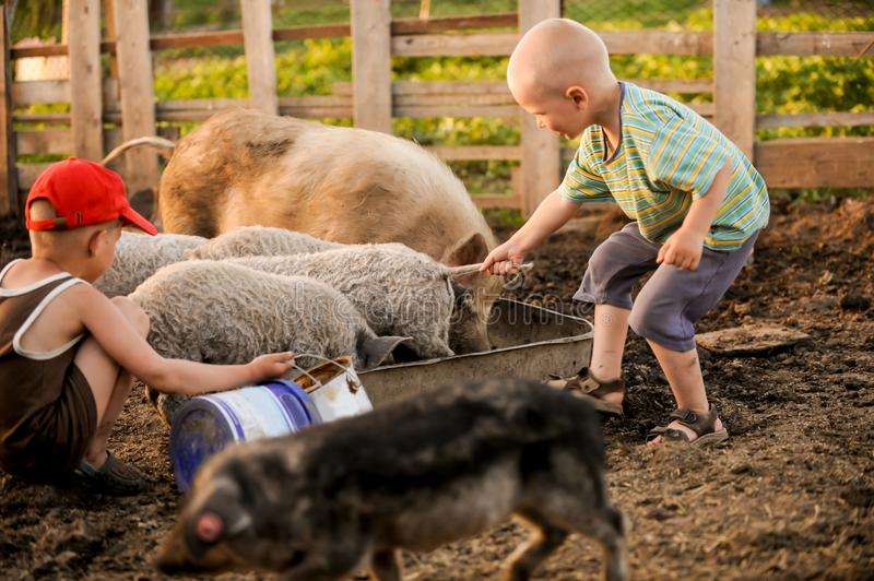 The boys take care of the pigs and feed them. The concept of small farms royalty free stock photo
