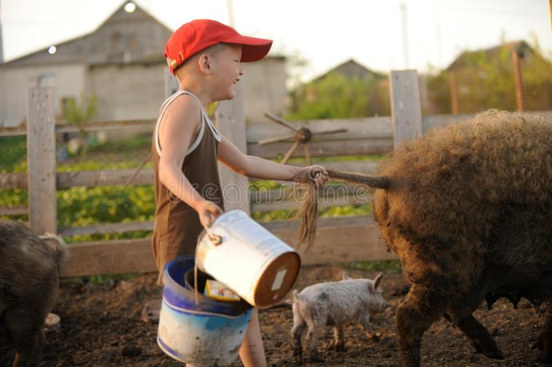 The boys take care of the pigs and feed them. The concept of small farms stock photos