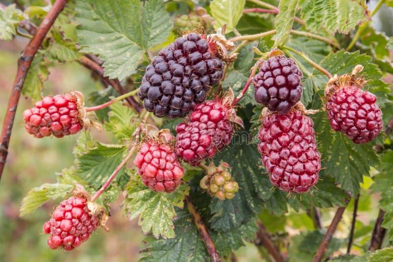 Boysenberry θάμνος με τα ωριμάζοντας μούρα στοκ φωτογραφία με δικαίωμα ελεύθερης χρήσης