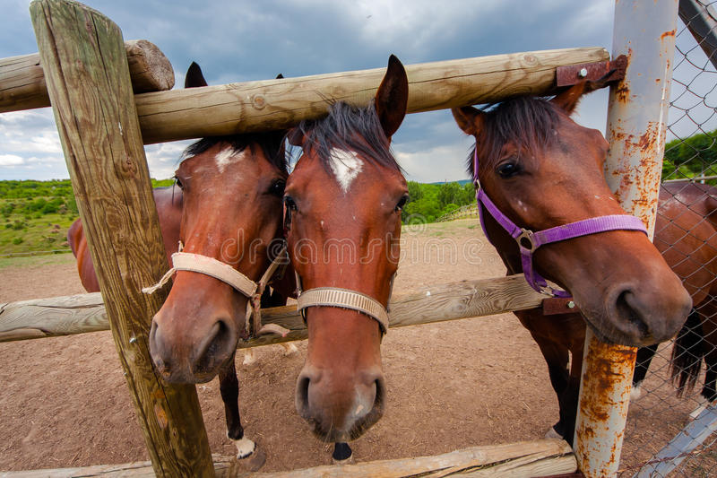 Bozal de tres caballos en la pajarera foto de archivo