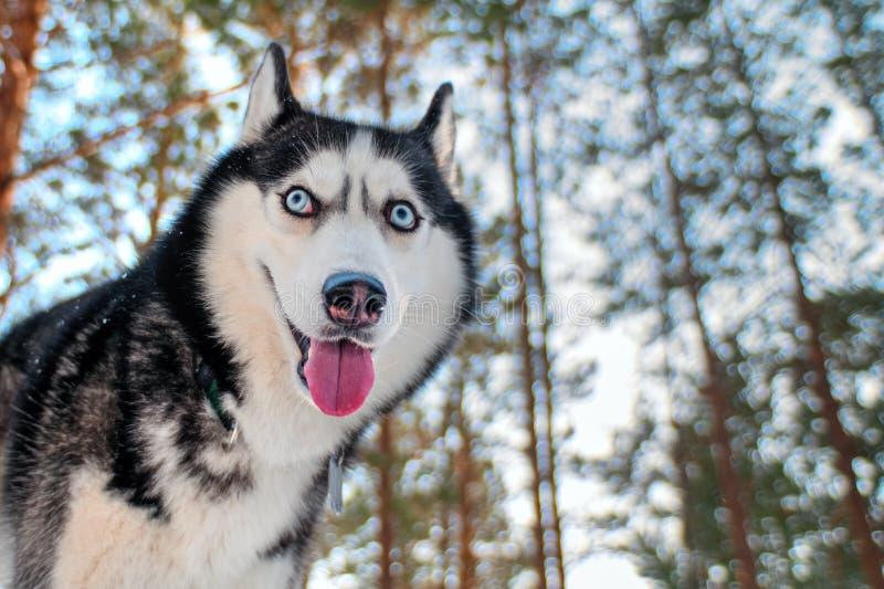 Bozal divertido a del husky siberiano imagen de archivo