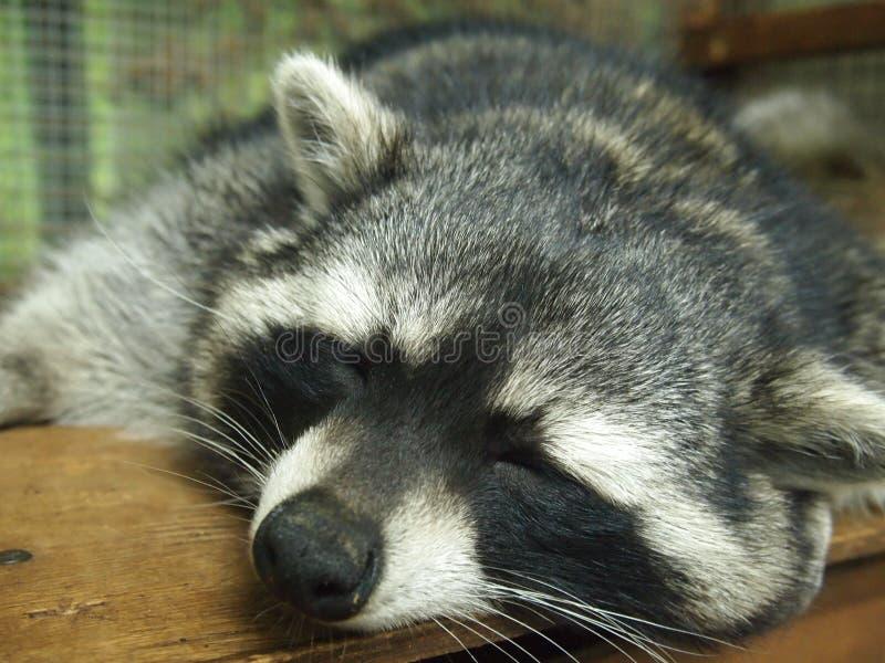 Bozal lindo de un mapache el dormir imagen de archivo