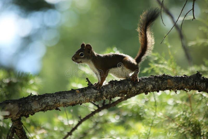 Boze eekhoorn royalty-vrije stock fotografie