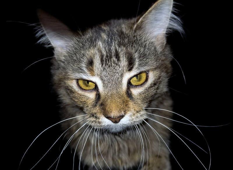 Boze gestreepte katkat op zwarte stock fotografie