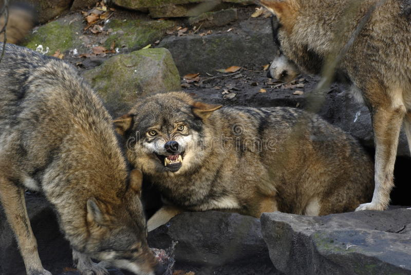 Boze wolf stock fotografie
