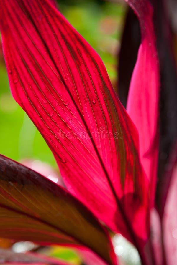 Bráctea o spathe roja colorida en una planta tropical fotos de archivo libres de regalías