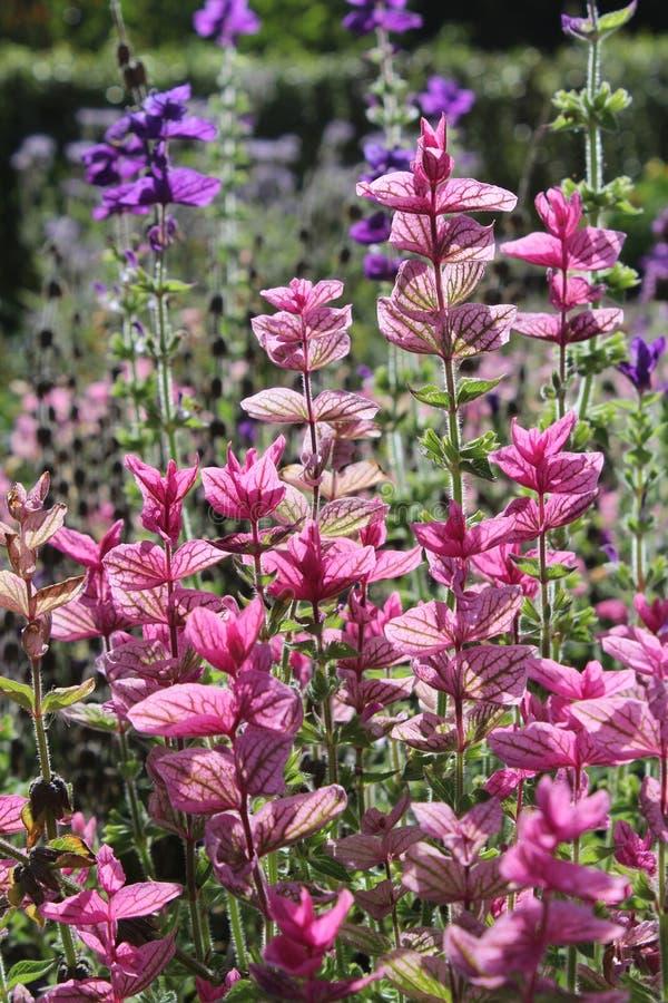 Brácteas cor-de-rosa brilhantes, Sage Plant foto de stock royalty free