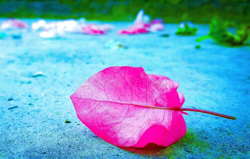 Brácteas rosadas de la buganvilla fotos de archivo