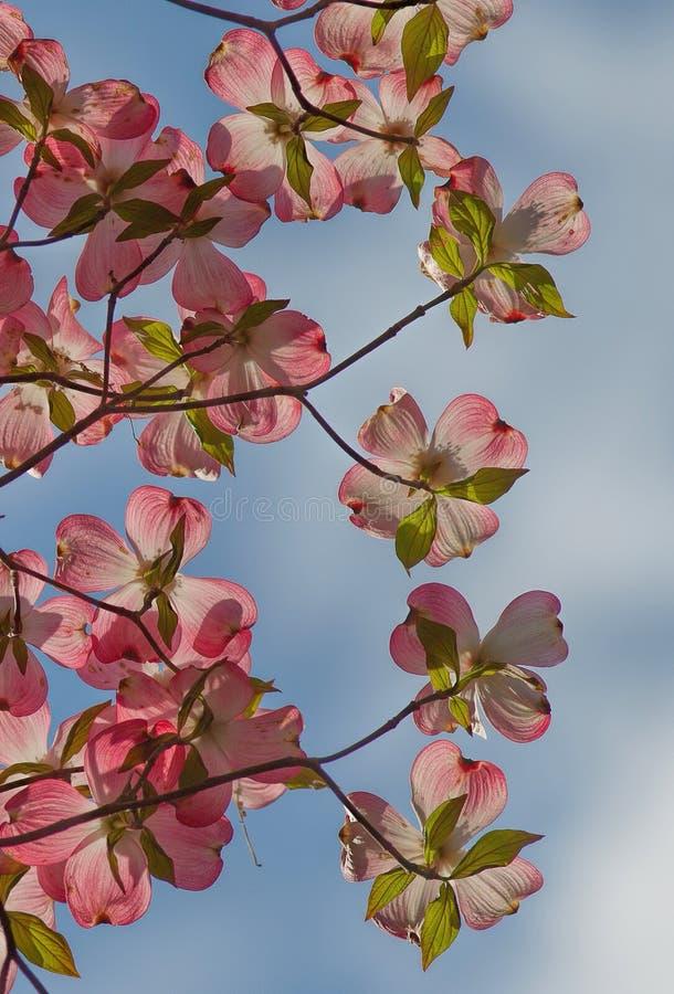 Brácteas rosadas del cornejo fotos de archivo libres de regalías