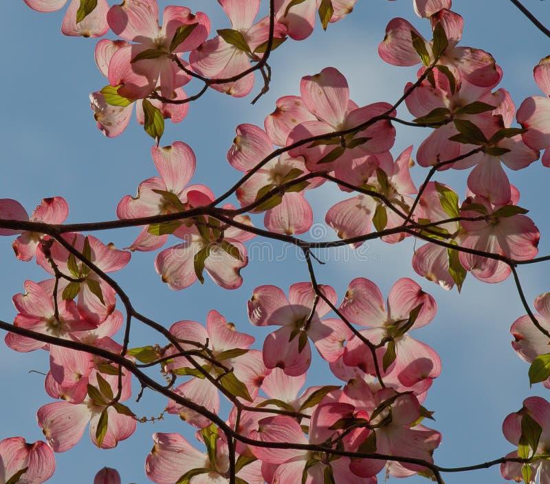 Brácteas rosadas iluminadas por el sol del cornejo imagen de archivo