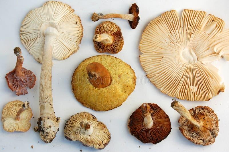 Brânquias de cogumelos selvagens fotos de stock