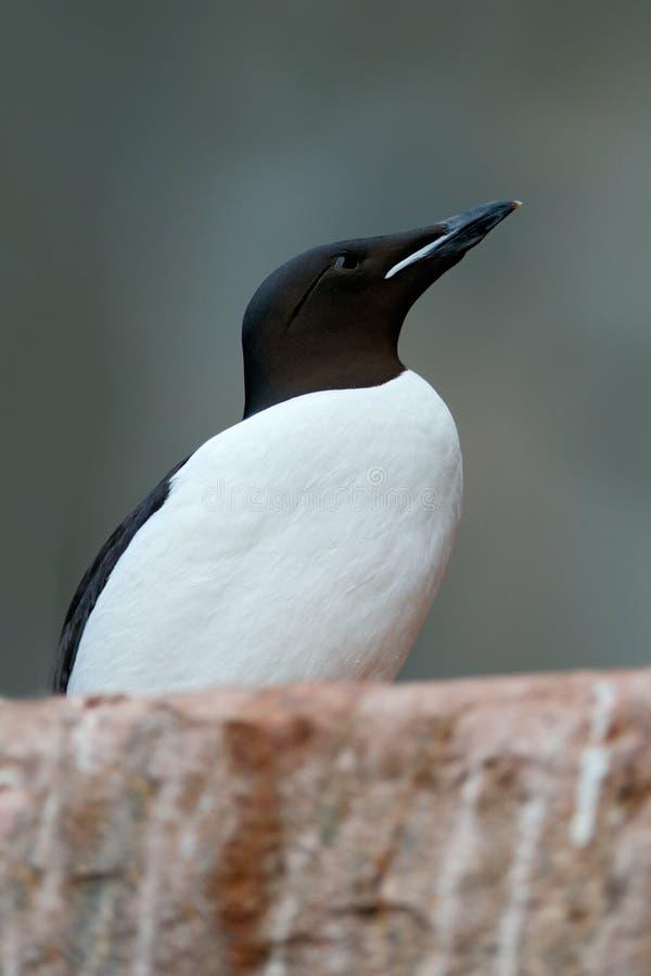 Brà ¼ nnich的海雀科的鸟,尿lomvia,与黑头坐岩石,斯瓦尔巴特群岛,挪威的白色鸟 库存图片