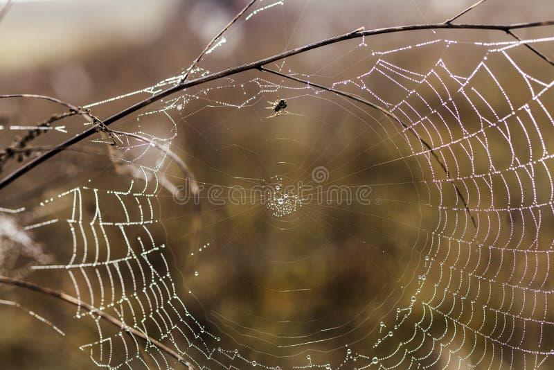 Bräcklig spindel som är netto in tidigt i en dimmig våt och kall morgon royaltyfri foto