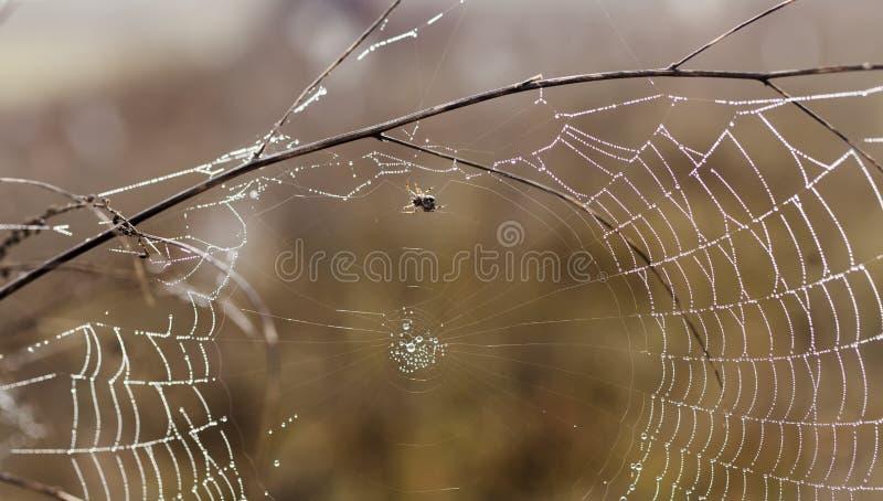 Bräcklig spindel som är netto in tidigt i en dimmig våt och kall morgon royaltyfria foton