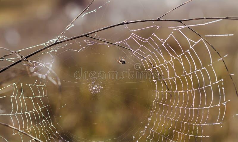 Bräcklig spindel som är netto in tidigt i en dimmig våt och kall morgon arkivbilder