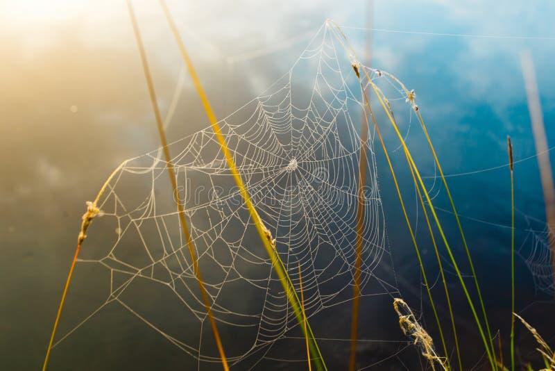 Bräcklig spindelrengöringsduk som hänger på gräset som täckas i daggdroppar arkivbilder
