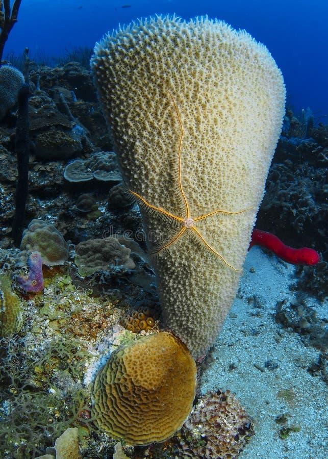 Bräcklig stjärna på en Azure Vase svamp Roatan, Honduras royaltyfri fotografi
