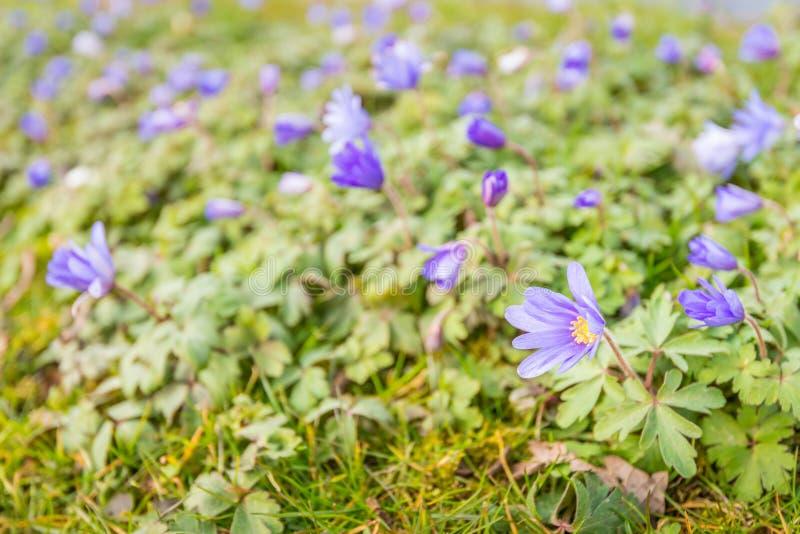 Bräckliga purpurfärgade växter för wood anemon för blomning i det löst arkivfoto