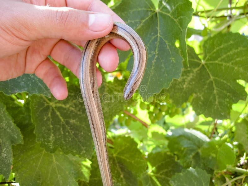 Bräckliga Veretenitsa legless ödla reptil arkivfoton