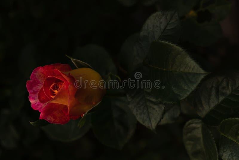 Brännhet orange ros med mörkt - gröna sidor på en stamnärbild i dagsljus fotografering för bildbyråer