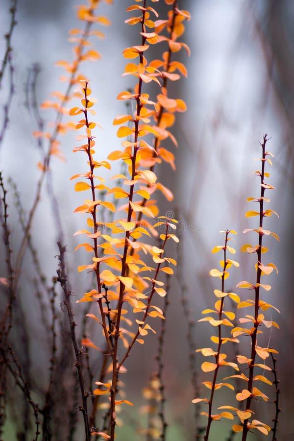 Brännheta orange ovalsidor på en dekorativ buske på en oskarp bakgrund arkivfoton