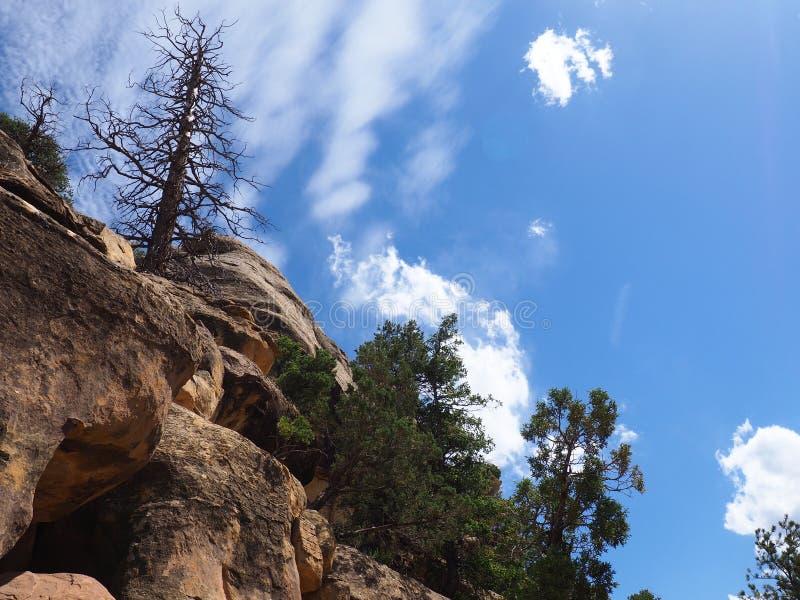Bränt sörja trädet mot en blå himmel, Mesa Verde, Utah royaltyfria bilder