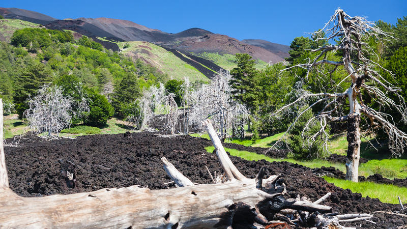Bränt träd i härdat lavaflöde på den Etna lutningen arkivbild