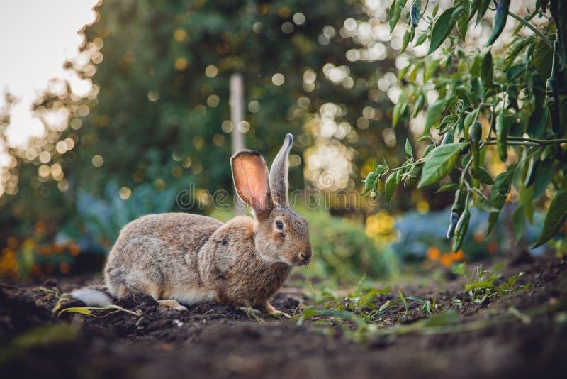 Bräunlicher grauer Kaninchenhaseriese stockbild