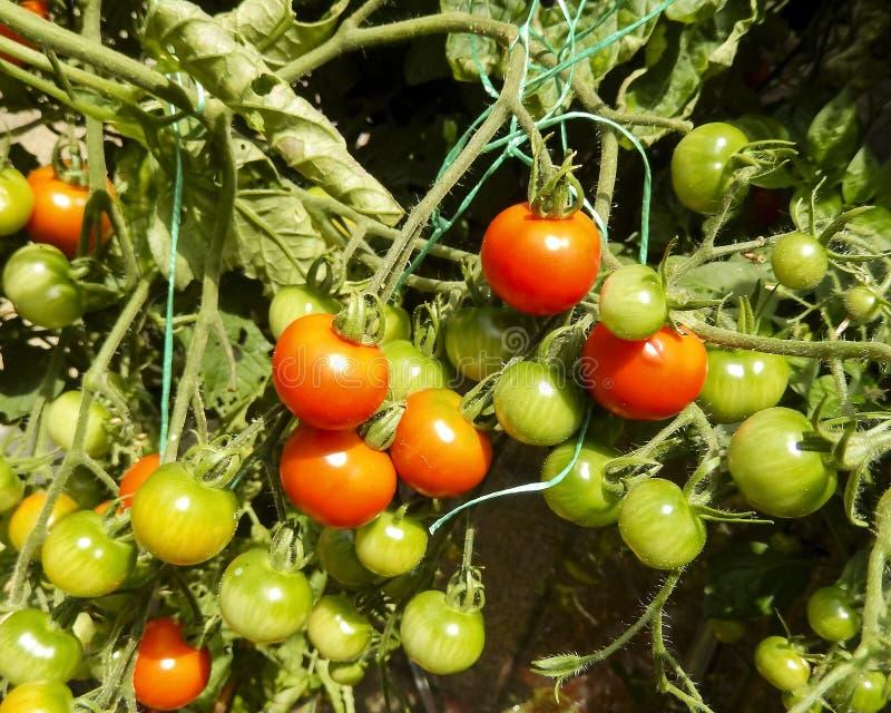 Bråckband av röda och gröna körsbärsröda tomater fotografering för bildbyråer