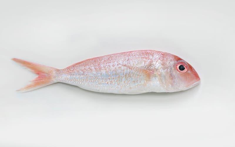 Brème fleurie fraîche de threadfin sur le fond blanc photos stock