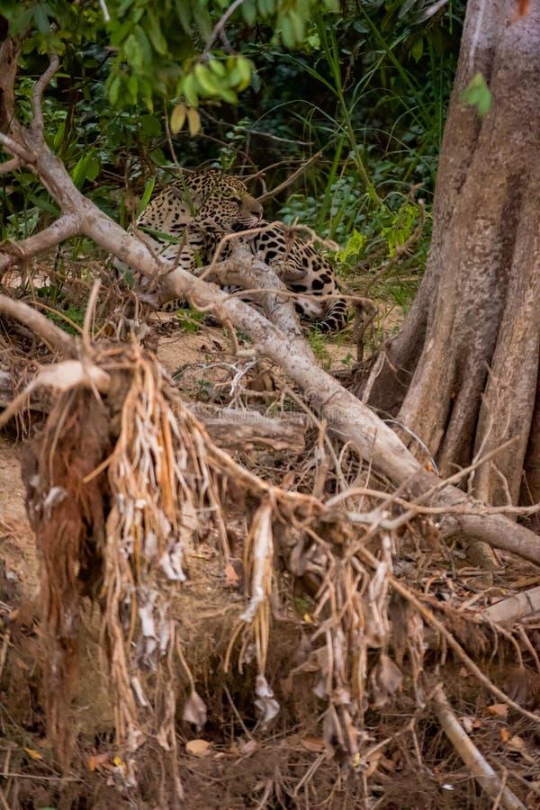 Brésilien Pantanal - Jaguar photographie stock