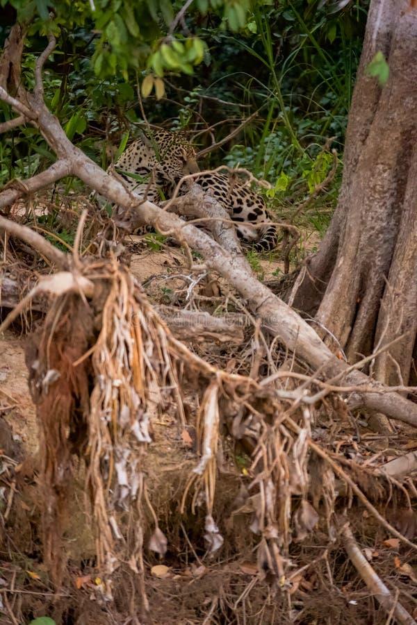 Brésilien Pantanal - Jaguar photo stock