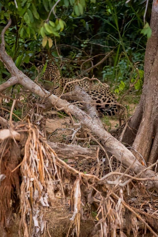 Brésilien Pantanal - Jaguar image stock