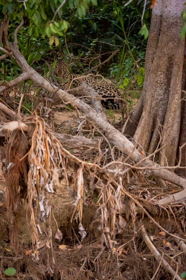 Brésilien Pantanal - Jaguar photos libres de droits