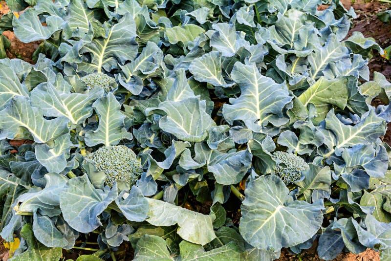 Bróculi que crece foto de archivo