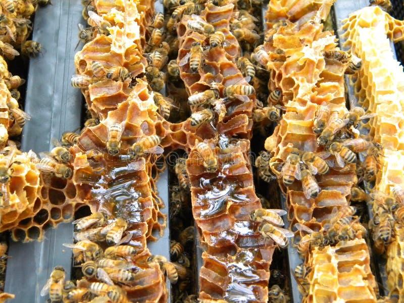 Brückenkamm auf Langstroth-Bienenstockrahmen stockbilder