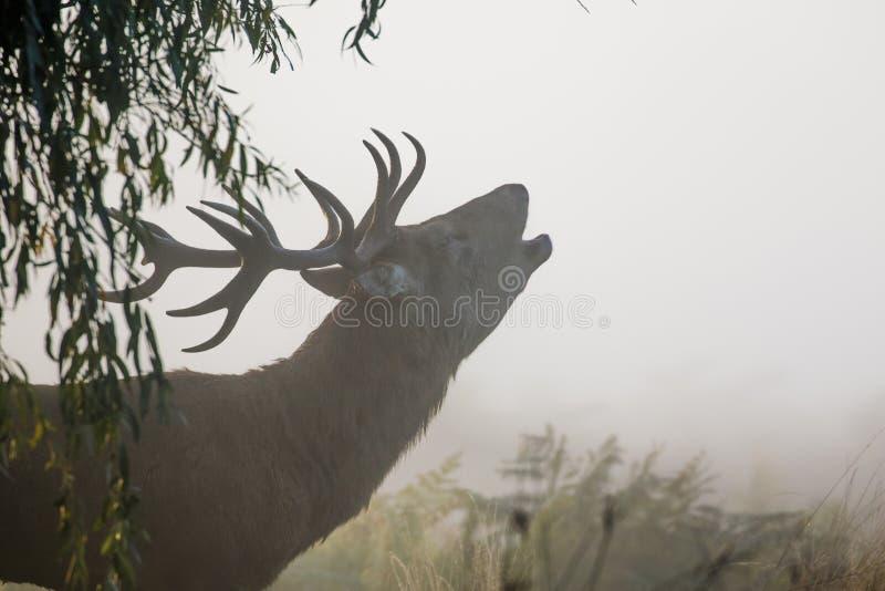 Brüllendes oder brüllendes Rotwildhirsch Cervus elaphus lizenzfreies stockfoto