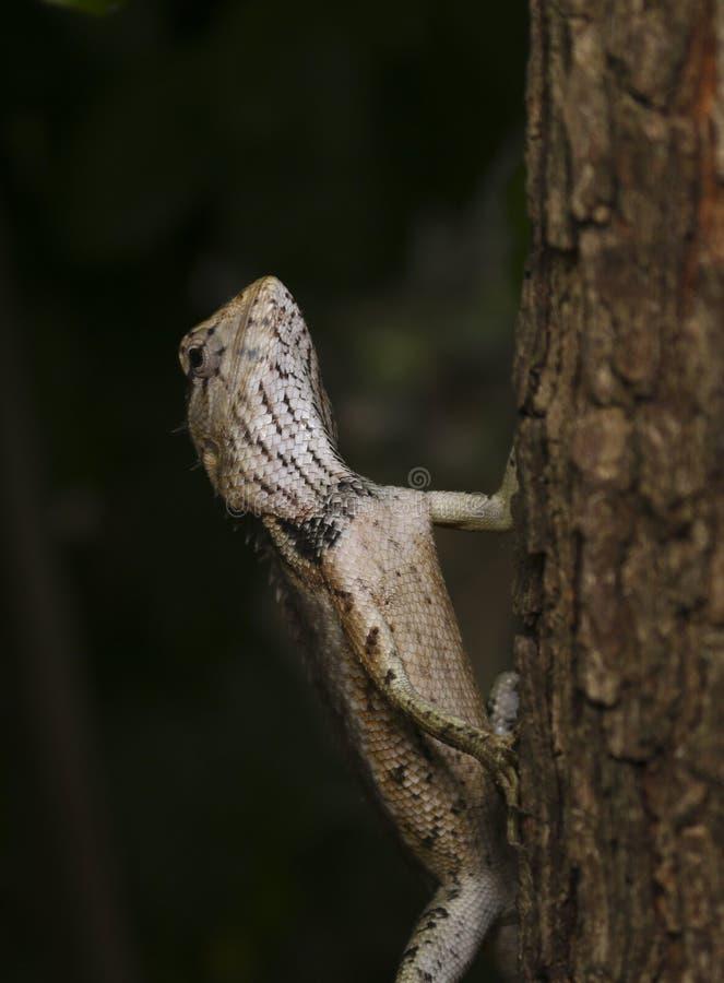 Brąz jaszczurka na drzewie zdjęcie royalty free