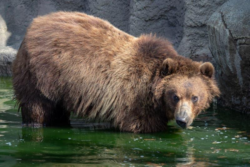 brąz niedźwiadkowa woda Portret brown niedźwiedzia Ursus arctos beringianus obraz royalty free