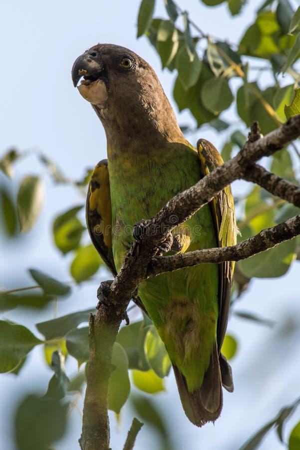 brąz przewodząca papuga zdjęcia stock