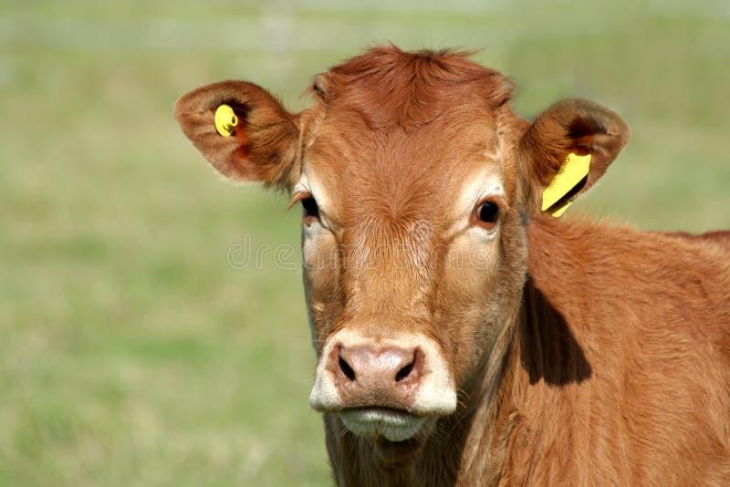 brązowa krowa obraz stock