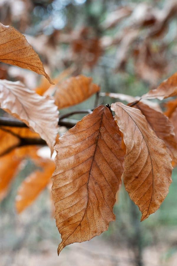 Brązowi jesień liście w lesie obraz royalty free