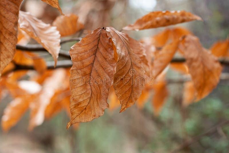 Brązowi jesień liście z Bokeh ulistnieniem obraz royalty free