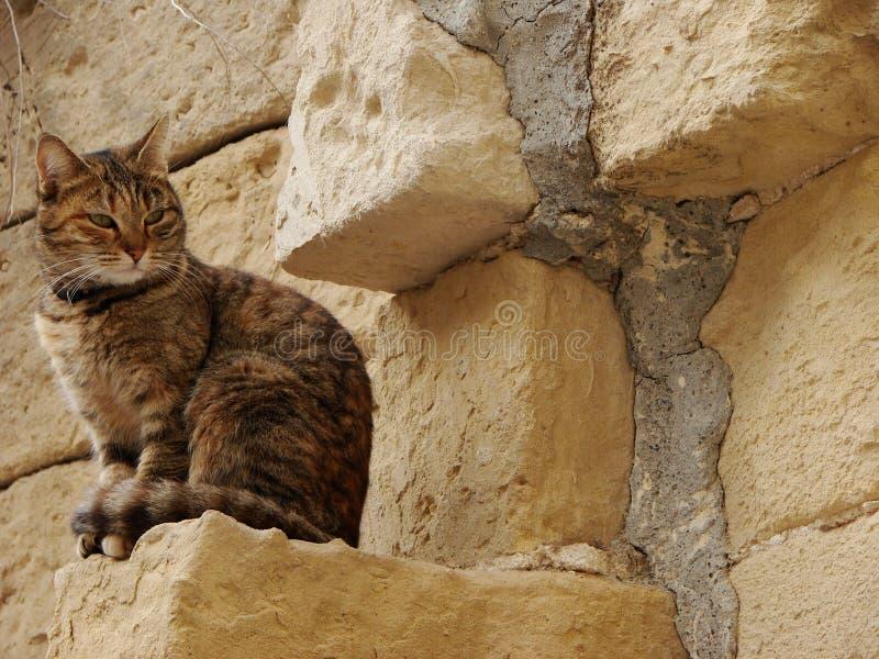 Brązowy i czarny kot tabby obraz stock