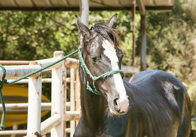 Download Brązowy koń obraz stock. Obraz złożonej z konie, koń - 57653403